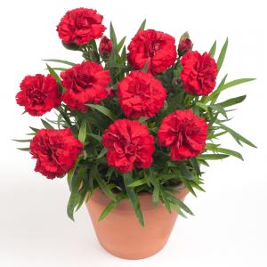 Гвоздика Dianthus Dinamic Red