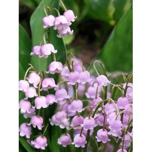 Ландыш Convallaria majalis rosea