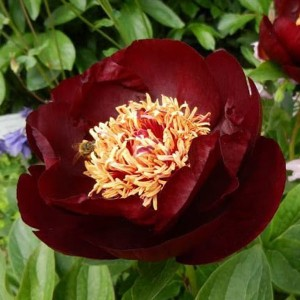 Paeonia Dark Eyes