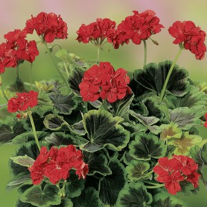 Пеларгония зональная Pelargonium  Grandeur Occold Shield