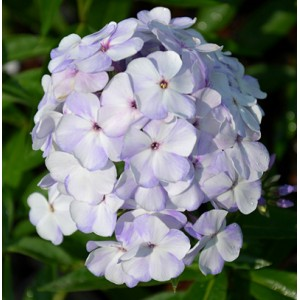 Флокс Phlox Flame Blue