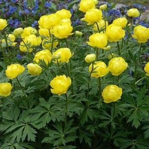 Купальница Trollius Lemon Queen