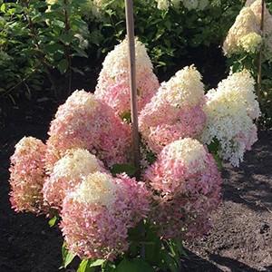 Гортензия метельчатая Hydrangea paniculata Living Royal Flower