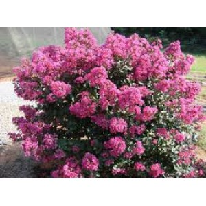 Лагерстроэмия Lagerstroemia Coral Filli