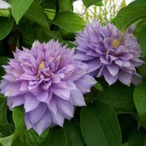 Клематис Clematis Belle of Woking