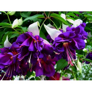 Фуксия (Fuchsia) Deep Purple