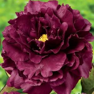 Пион Paeonia Black Beauty