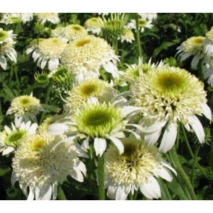 Эхинацея Echinacea White Double Delight