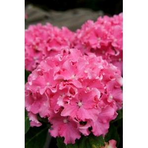 Гортензия Hydrangea Curly Sparkle Red