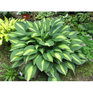 Хоста Hosta Striptease