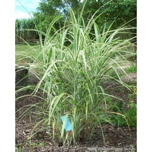 "Мискантус  Miscanthus  ""Morning Light"""