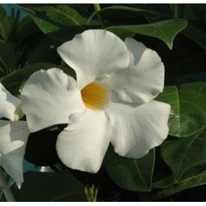 Диплодения Sundaville Cosmos White