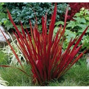 Императа Imperata cylindrica Red Baron