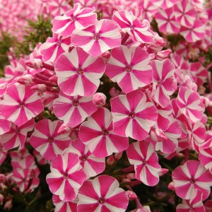 Флокс Phlox Peppermint Twist